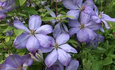 Die Clematis-Hybride 'Mrs. Cholmondeley' ist ein sehr beliebter Rosenbegleiter