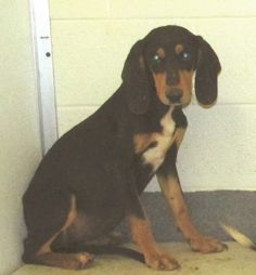 Black & Tan Coonhound mix M 10-12 months 27 lbs. named Burton in Amherst, VA @ Humane Society of Amherst County