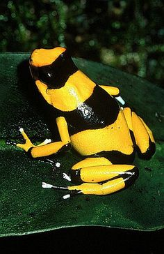Yellow & Black and poisonous