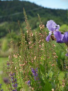 Verbascum 'Copper rose' and blue Iris germanica. 2011-06-24