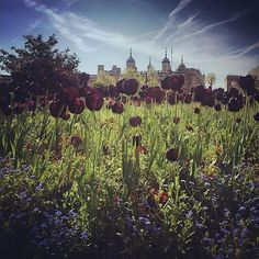 Our Photo of the Week is this glorious shot of tulips and #TowerOfLondon by @klaartjegalle #PalacePhoto #tulips