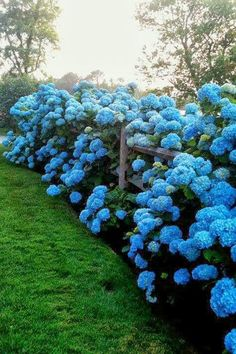 Overflowing Hydrangeas - 17 Dreamy Hydrangea Gardens That Have Us So Ready for Spring - Southernliving. These hydrangeas cannot be contained. The setting sun makes the perfect backdrop.  See Pin