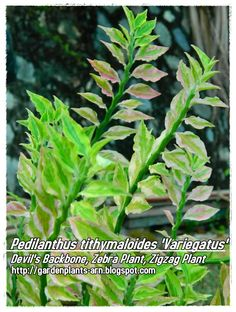devil's backbone plant care | reference 1001 garden plants in singapore page 357