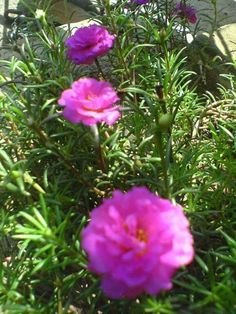 Exotic Flowers, Pink Flowers, Portulaca Grandiflora, Ice Plant, Landscaping Ideas, Garden Ideas, Roses, Gardening, Landscape