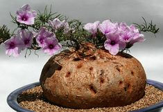ipomoea bolusiana! Awesome! It's like a baked potato with rosemary sprigs sticking out that have moon flowers glued on!