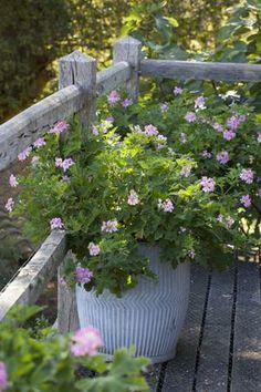 Pelargonium 'Sweet Mimosa'