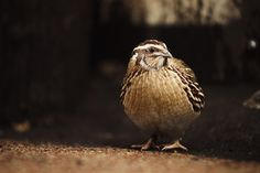 Japanese quail - gorgeous birds, bigger than most quail and are easily tamed