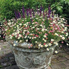 Erigeron Stallone Flower Plants £ By Mr Fothergills Seeds A Fantastic .Erigeron Stallone Flower Plants £ By Mr Fothergills Seeds A fantastic plant with lots of small, daisy-like flowers that fits in patio Container Flowers, Flower Planters, Container Plants, Container Gardening, Flower Pots, Container Houses, Garden Cottage, Garden Pots, Amazing Gardens