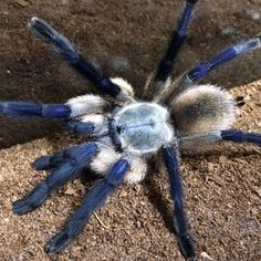 Tarantula Habitat, Tarantula Enclosure, Pet Tarantula, Animals Of The World, Animals And Pets, Cute Animals, Small Animals, Spider Baby, Jumping Spider