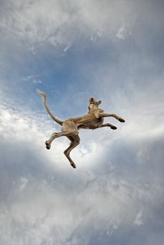 1000+ images about 개 : Saluki on Pinterest | Dog art ...