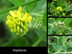 Hopklaver - Medicago lupulina. - Foto gemaakt door pinterester Adri v.d.S - Bord Wilde Gele bloemen - Yellow wildflowers