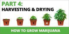 How To Grow Marijuana Step 4: Harvesting & Drying
