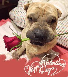 happy valentine's day #sharpei #dog #love #valentine's day