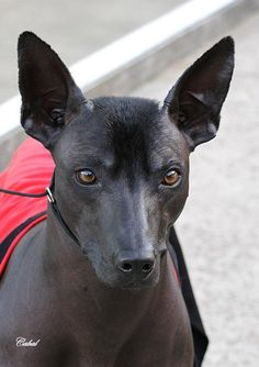 A beautiful example of a Xoloitzcuintle ('Xolo') or Mexican Hairless Dog. Animals And Pets, Baby Animals, Cute Animals, Beautiful Dogs, Animals Beautiful, Mexican Hairless Dog, Rare Dogs, Dog Breeds List, Inka