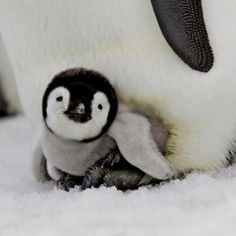 Can you deny this face?  People need to start using the penguin face, not the puppy eyes!