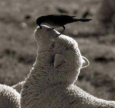 "Bird and sheep. ""Ewe are getting veryyyyyyyyy sleepy"""