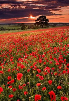 Red wildflowers at sunset