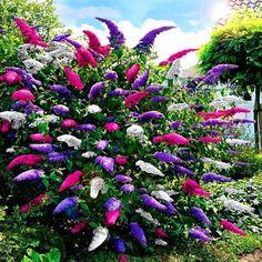 NAJDŁUŻEJ KWITNĄCY KRZEW ŚWIATA~ LAGERSTROEMIA 8266643356 - Allegro.pl Buddleja Davidii, Lagerstroemia, Small Garden Landscape, Agriculture, Garden Plants, Garden Landscaping, Gardening Tips, Ladder Decor, Home And Garden