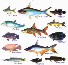 specie di pesci d'acqua dolce nei fiumi italiani - Cerca con Google
