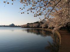Washington DC Cherry Blossums. I'll make it there  yet!