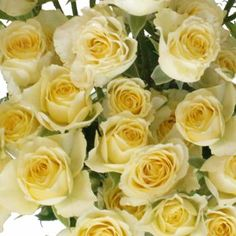 Pale Yellow Wholesale Spray Roses - 8 Bunches
