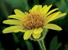 We use arnica in our Rejuvenating Body Elixir.