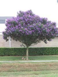 Tibouchina Granulosa is one of the best flowering trees in south Florida, blooming for most of the year. This Brazilian native does not get very big in Florida, growing more like a big shrub and reaching an average of 15 feet.