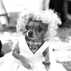 Not only do I love dogs but I love Marilyn this Marilyn chihuahua! Cute Chihuahua, Cute Puppies, Cute Dogs, Chihuahua Rescue, Teacup Chihuahua, Funny Dogs, Funny Animals, Cute Animals, Dog Costumes