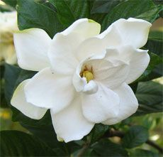 How to start a gardenia from a cutting. We have beautiful gardenias blooming now and I can't wait to make more plants for gifts!