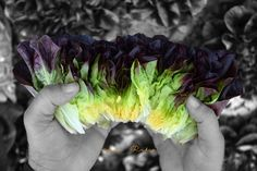 Ummmmm my rainbow salad with #salanova #knox by #rijkzwaan #agricultura #agriculture #leaf #seeds