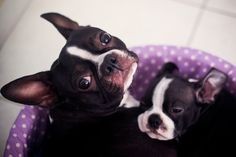 Boston Terriers justy said we can have one