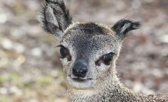 """Klipspringers, like this one born at Indiana's Mesker Park Zoo & Botanic Garden, can easily navigate rocky terrain—and are appropriately named with the Afrikaan word for """"rock jumper."""" (Courtesy Mesker Park Zoo)"""