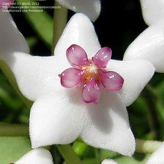 Full size picture of Miniature Wax Plant, Beautiful Hoya, Porcelain Flower (Hoya bella)
