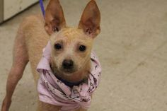 NAME:Fedor ANIMAL ID:28236235 BREED:chi mix SEX:male-neutered EST. AGE:6mos Est Weight:13lbs Health:heartworm neg demodex pos Temperament:dog friendly, people friendly ADDITIONAL INFO: RESCUE PULL FEE:$69 Intake date:6/26 Available:now