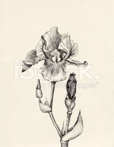 Iris flower pen and ink drawing royalty-free stock illustration
