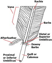 anatomy of a feather including the vane and calamus