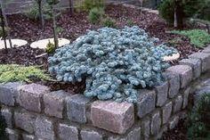 Picea glauca globosa - Google pretraživanje