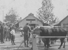 Grooming the livestock before judging during the 1919 Indiana State Fair.