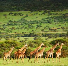Zicasso is a personalized travel service, connecting travelers to a carefully-selected global network of the top of travel agents in the world. Free Travel, Travel And Leisure, Best Travel Websites, Giraffe Family, African Safari, Best Vacations, Luxury Travel, Animals Beautiful, Wildlife