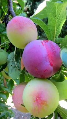 Lovely Fruit Plants, Fruit Garden, Fruit Trees, Fruit And Veg, Fruits And Vegetables, Fresh Fruit, Beautiful Fruits, Beautiful Flowers, Photo Fruit