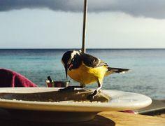 Curacao Suikerdiefje