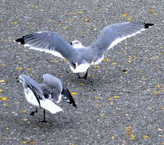 gulls......food fight