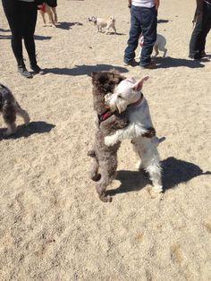 Sweet Schnauzers hugging it out! Awww