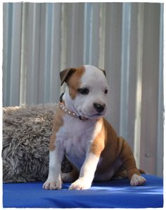 As soon as you see Vitality you see that this American Staffordshire Terrier is an elegant, fun and happy puppy.