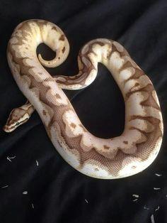 Calico Mojave Bumblee Ball Python yummy!