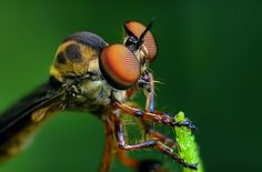 Robber Fly  by Photographer Thomas Shahan