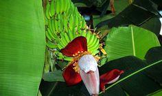 La flor del banano en Costa Rica.