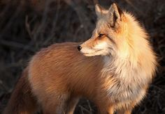 Fox | Flickr - Photo Sharing! by Julie Hawkes