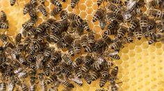 #Fataler Kampf gegen Zika-Virus: Insektizid tötet Millionen Bienen auf einmal - n-tv.de NACHRICHTEN: n-tv.de NACHRICHTEN Fataler Kampf…