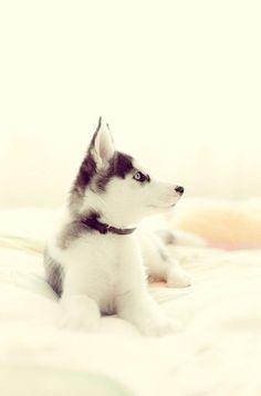 Gorgeous Siberian Husky puppy